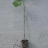 planta-paulownia-tomentosa-1