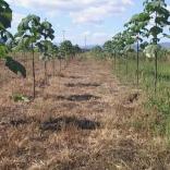plantatie-paulownia-tomentosa-11