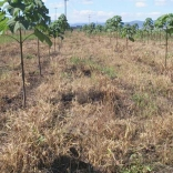 plantatie-paulownia-tomentosa-13