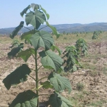 plantatie-paulownia-tomentosa-2