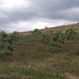 plantatie-paulownia-tomentosa-4