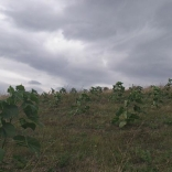 plantatie-paulownia-tomentosa-5