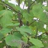 plantatie-paulownia-tomentosa-6