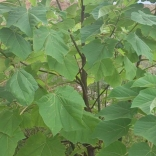 plantatie-paulownia-tomentosa-7