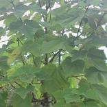 plantatie-paulownia-tomentosa-8