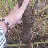 plantatie-paulownia-tomentosa-9