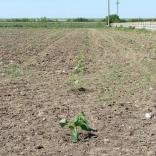 plantatie-puieti-paulownia-tomentosa-1