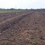 plantatie-puieti-paulownia-tomentosa-11