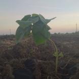 plantatie-puieti-paulownia-tomentosa-21
