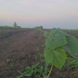 plantatie-puieti-paulownia-tomentosa-22