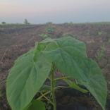 plantatie-puieti-paulownia-tomentosa-23