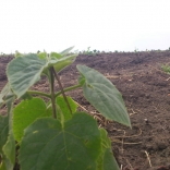 plantatie-puieti-paulownia-tomentosa-24