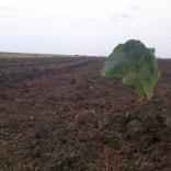 plantatie-puieti-paulownia-tomentosa-25