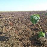 plantatie-puieti-paulownia-tomentosa-27