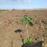 plantatie-puieti-paulownia-tomentosa-28