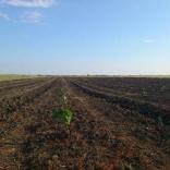 plantatie-puieti-paulownia-tomentosa-30