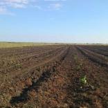 plantatie-puieti-paulownia-tomentosa-31