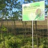 plantatie-puieti-paulownia-tomentosa-33