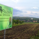 plantatie-puieti-paulownia-tomentosa-7